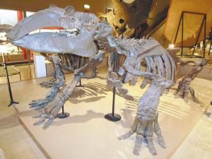 The Yomiuri ShimbunA skeletal exhibit of a desmostylian in the Osaka Museum of Natural History