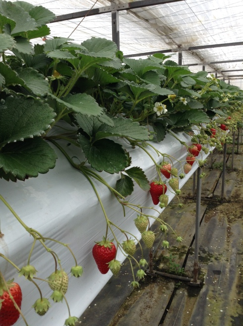 Glasshouse grown strawberries for better control of the ideal temperatures and a larger harvest