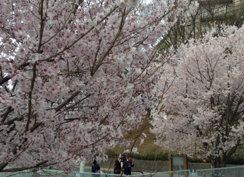 Students snapping shots of sakura blossoms with their smartphones on the way home from school (EIJ photo)