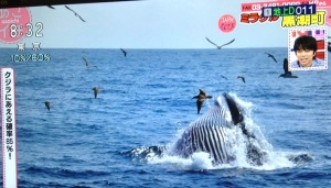 Featured on Asaichi NHK TV program this morning was Kuroshiocho's whale-watching tours