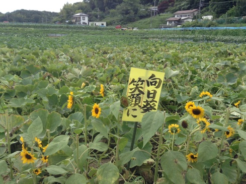 A farmer's field bordered with sunflowers, and peppered over with signboards of cheer and encouragement
