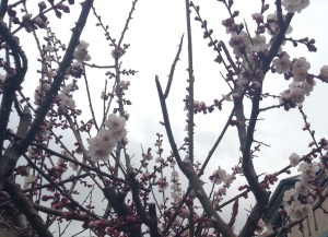 Plum blossoms under an overcast spring sky
