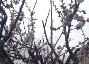 Plum blossoms under an overcast spring sky